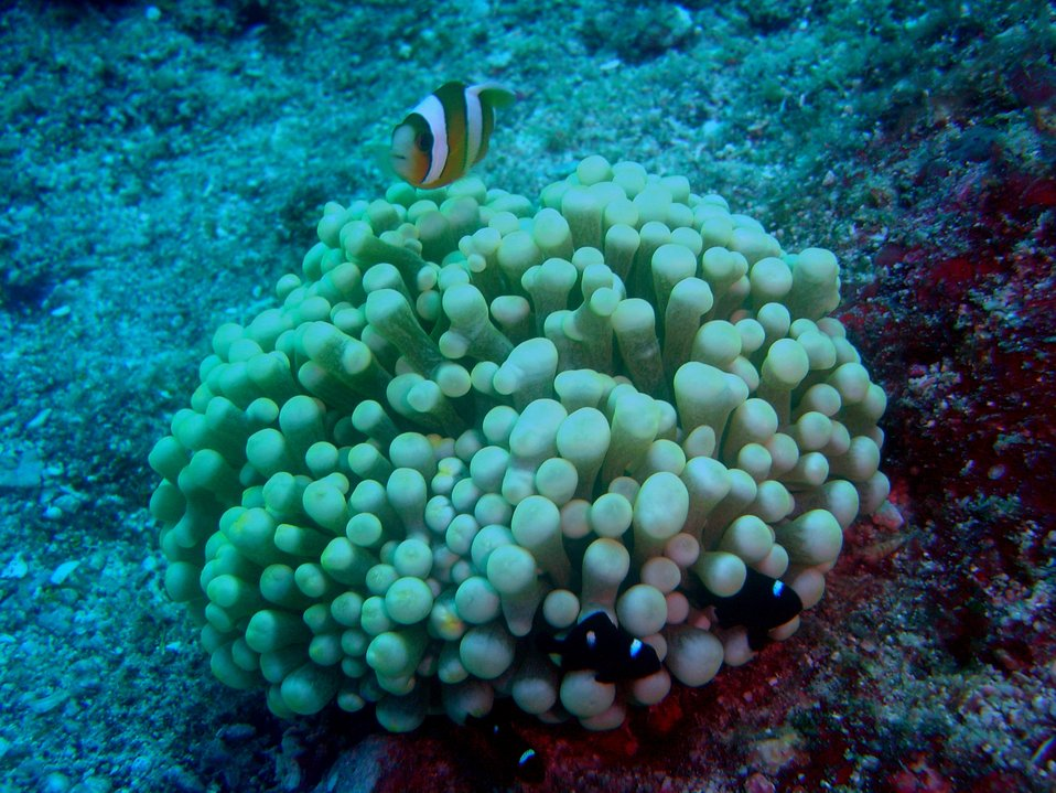 Large anemone with an orange-fin anemonefish (Amphiprion chrysopterus) and three juvenile three-spot dascyllus (Dascyllus trimaculatus)