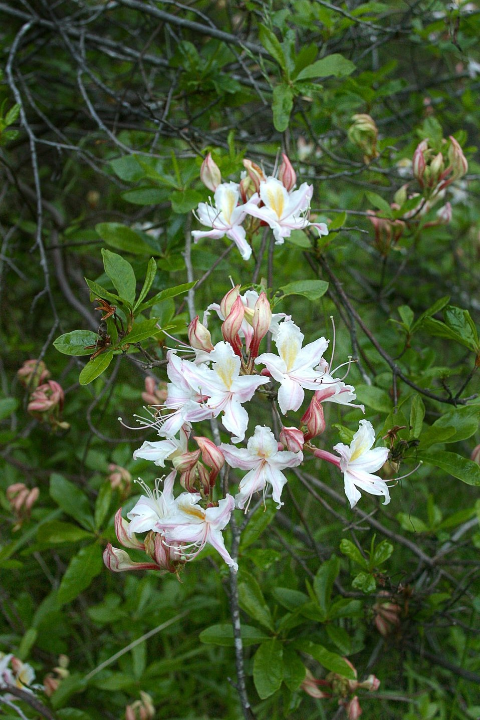 Wild section of the Rogue River from Grave Creek to Foster Bar May 19 to May 22. Azalea across the meadow from Whisky Creek Cabin.  Photo by John Craig