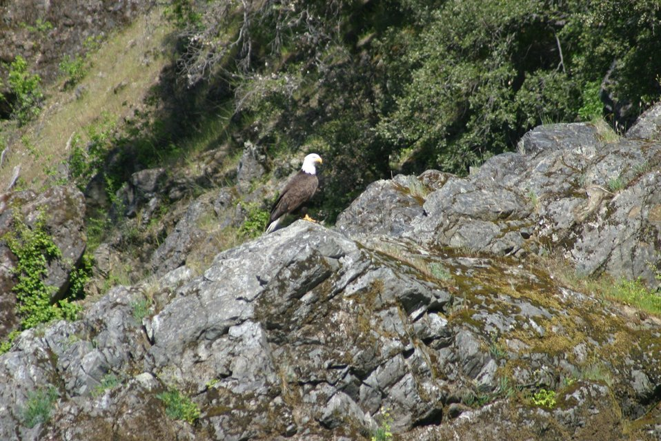 Bald eagle just below Wildcat Rapid on the Wild section of the Rogue River from Grave Creek to Foster Bar May 19 to May 22.  Photo by John Craig