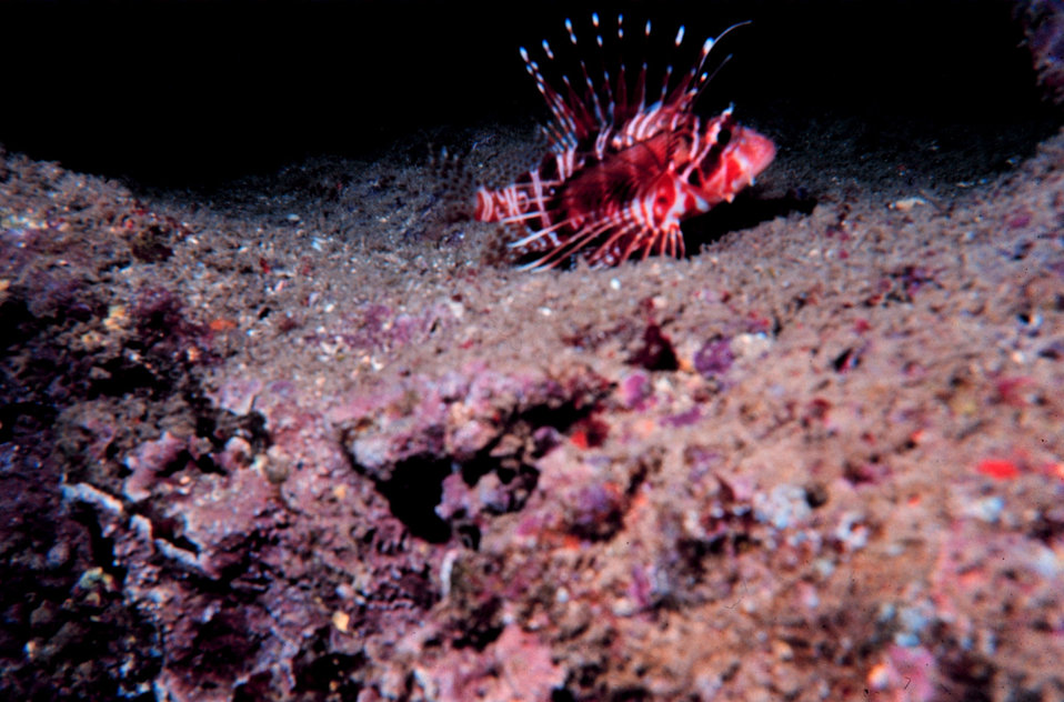 Pterois sphex - Lionfish - Dorsal spines are extremely poisonous. Living in pipe in artificial reef
