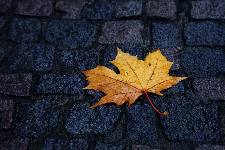 Single wet leaf in autumn