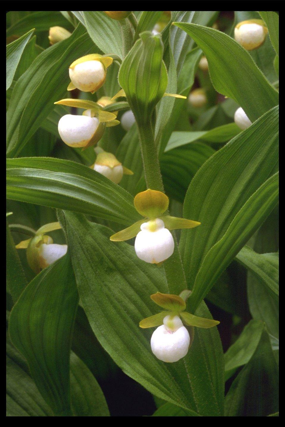 California Lady's Slipper Orchid (Cypripedium californicum) near Goolaway Gap.