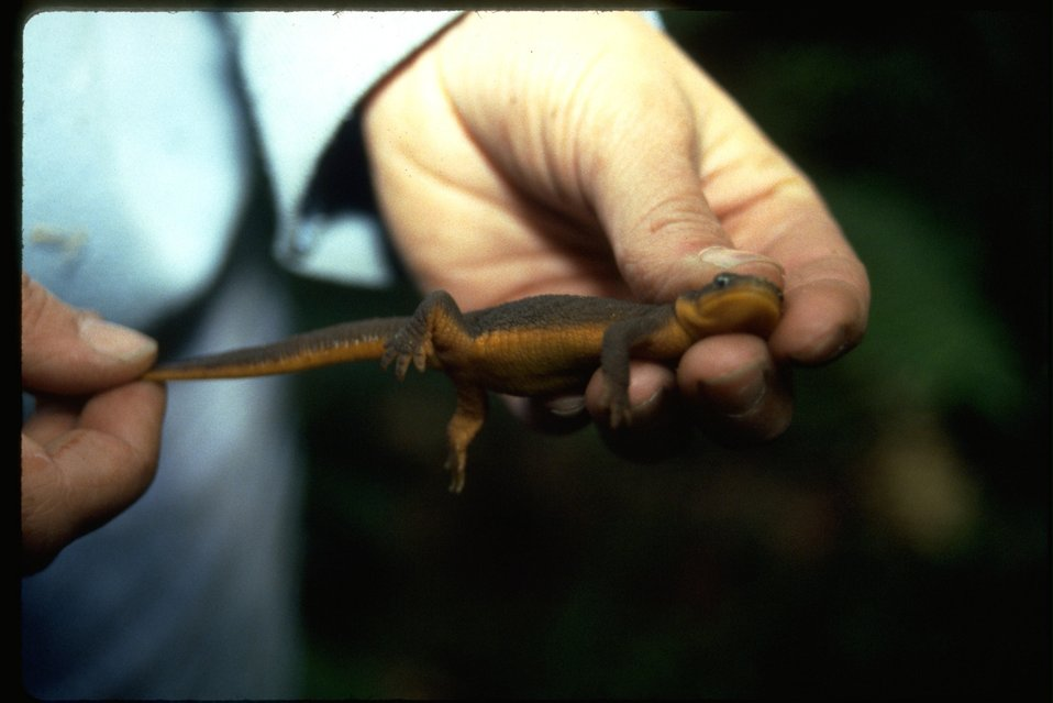 Close up of a rough-skinned newt.