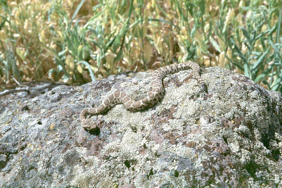 Rattlesnake at AML Poorman, Vale District, Oregon.