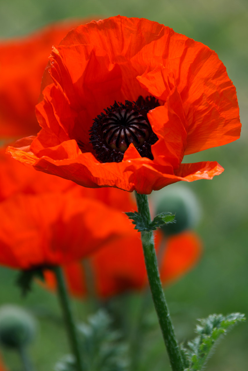 Public Domain Picture Poppy Flower Id 13948788014309