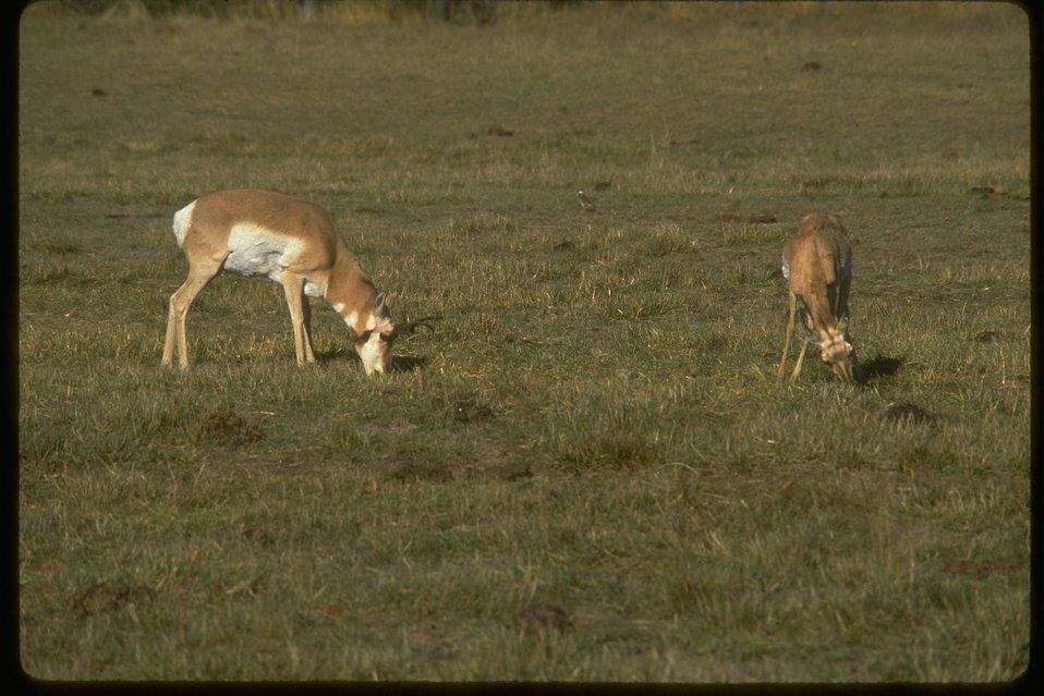 American Antelope.