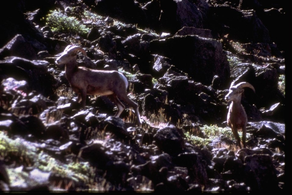 Two Mountain Sheep climbing up rocky hillside.