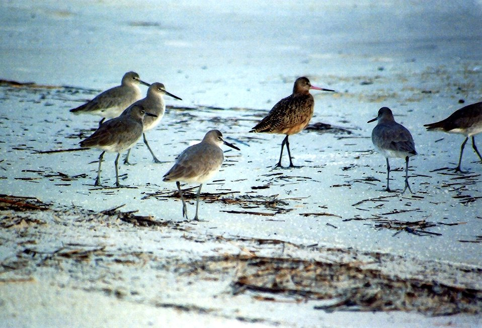 Sandpipers patrolling the beach.